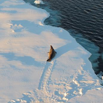 Seal traverses sheet of Antarctic sea ice
